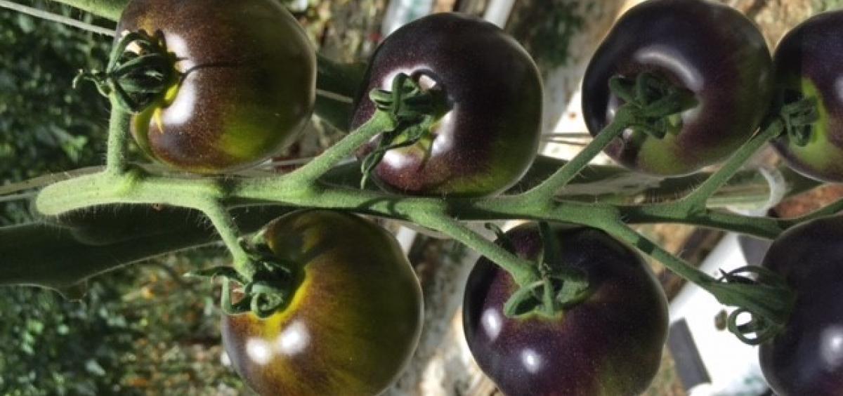 """""""Indigo™ Kiwi"""" Tomato photograph"""