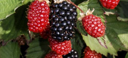 blackberry varieties
